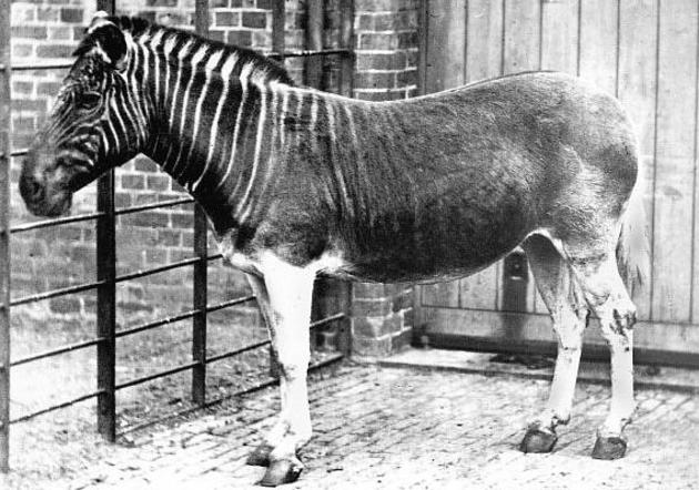 rare-photos-quagga